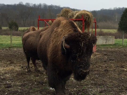 A bison herd, including Cruella, is viewable daily at Big Bone Lick State Historic site.