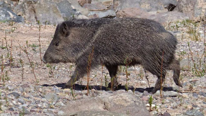 A javalina heads toward a pool of water at Leasburg Dam.