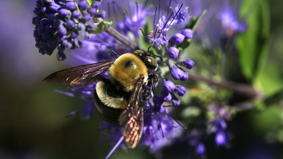 A carpenter bee pollinates a flower in the garden at the Bayer North American Bee Care Center in Research Triangle Park, N.C., Tuesday, Sep. 15, 2015.  (AP Photo/Ted Richardson)