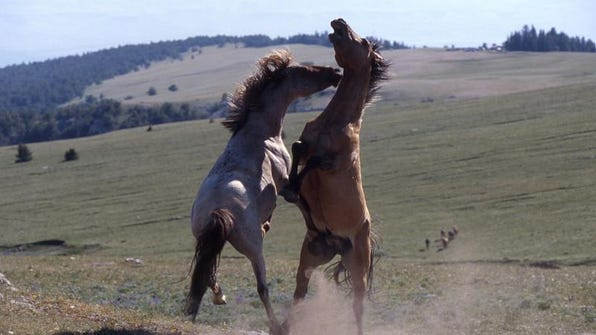 Wild horse advocacy groups are appealing a federal judge's ruling that denied their challenge to the government's management of the Pryor Mountain Wild Horse Range.