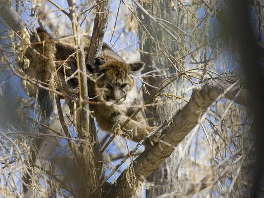 A juvenile mountain lion climbs a tree behind a Santa Clara residence Wednesday, Nov. 14, 2008. Washington City Animal Control tranquilized the animal and it was removed by the Division of Wildlife Resources.