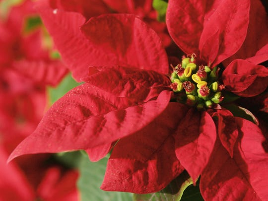 Small Poinsettias.