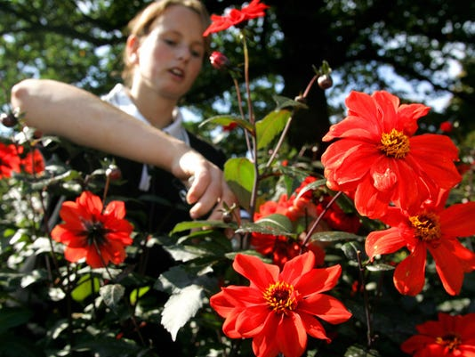 Gardener Elisa Melchert cuts dahlias of