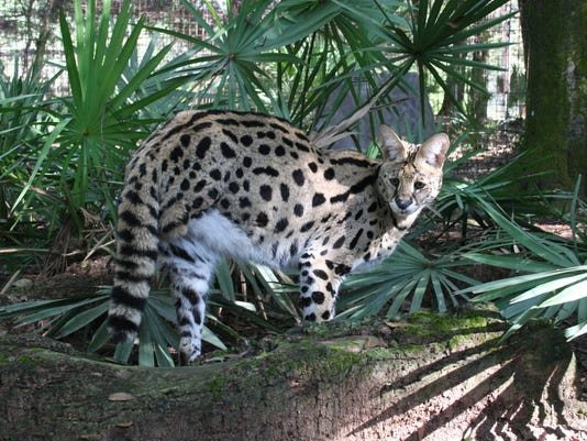 Des the serval