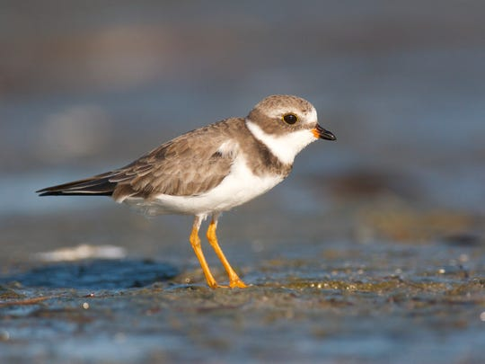 The last recorded piping plover nest in the Erie basin