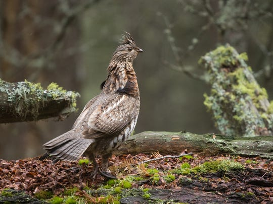 A ruffed grouse struts in a quiet forest.