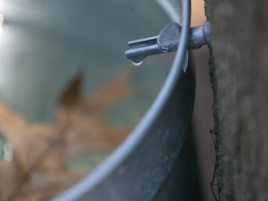 Sap is shown dripping from a maple tree at the Tenafly Nature Center.