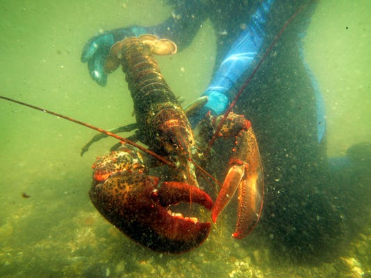 AP WARMING OCEAN LOBSTER A FILE USA ME