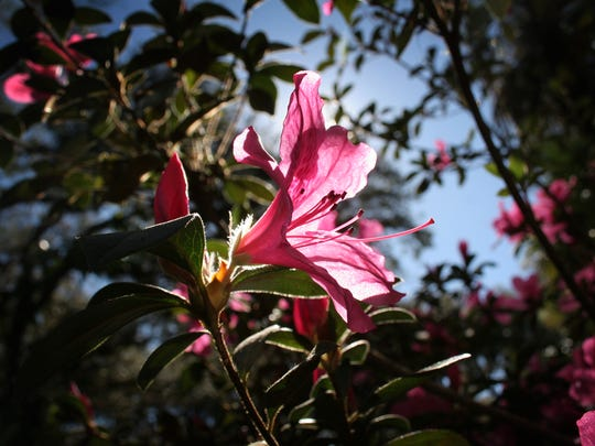Jessie Vega/The News-press .............. Azalea in the garden of Mrs. Diane DeVoest of Alva.   (For trop story)