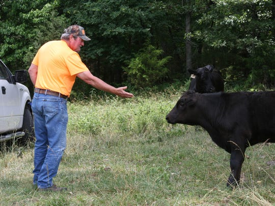 Vernon Fowler puts a hand out to greet one of his first-calf