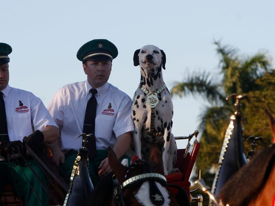 The Budweiser Clydesdales, Brewer the Dalmatian and the Budweiser crew in Fort Myers.