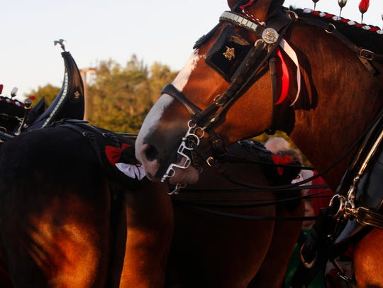 The Budweiser Clydesdales, Brewer the Dalmatian and the Budweiser crew visited the Bell Tower Shops in Fort Myers.