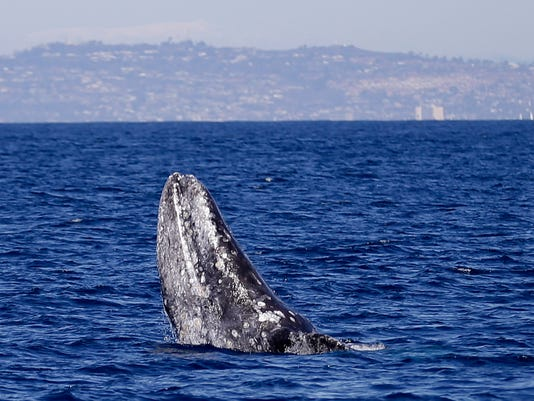 San Diego Whale Watching