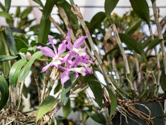Orchids grow and bloom in Graham Ramsey's greenhouse, Monday, March 23, 2015. Former president of the WNC Orchid Society, Ramsey is preparing multiple plants for the 16th annual Orchid Show at the N.C. Arboretum this weekend, March 28-29. Ramsey, who's been growing orchids for 12 years, keeps about 300 plants in the greenhouse he built outside his Asheville home.