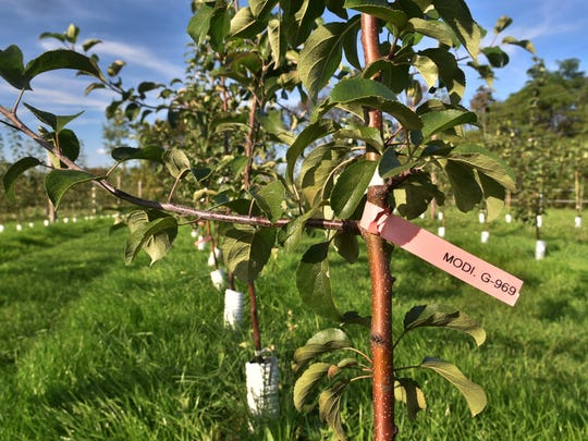The Peninsular Agricultural Research Station, 4312 Wisconsin 42, north of Sturgeon Bay, is growing different types of apples such as the Modi, a fresh eating apple from Italy, and other apples that will be earmarked for other uses such as cider.