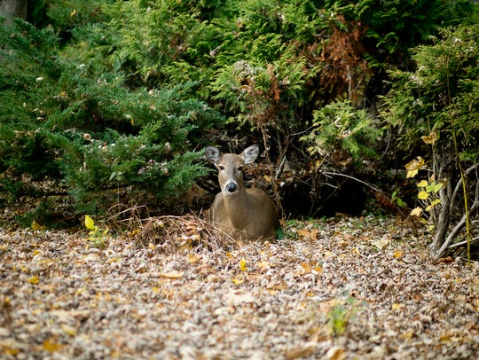 A doe sits in the backyard of photographer, Megan McCormick