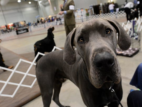Jimi Hendrix, a two-year old Great Dane puppy owned by Judy Gilmore of Dover DE, hangs out while waiting for his afternoon judging, Wednesday March 11, 2015. Nearly 8,000 entries will be judged in the Conformation, Obedience and Rally events during the five-day Celtic Classic Dog Show at the York Expo Center.  Admission is free to all three buildings used for the show. For more information visit www.thecelticclassic.com John A. Pavoncello - jpavoncello@yorkdispatch.com