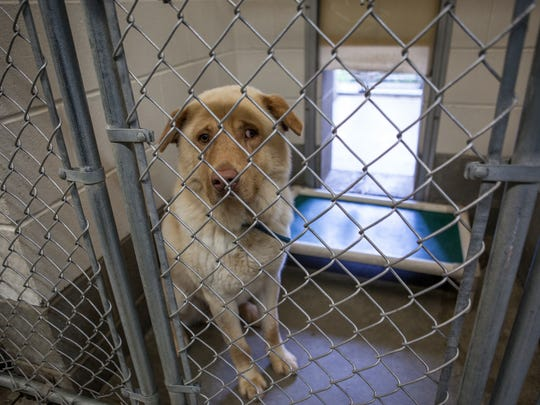 A dog waits to be adopted in the First State Animal Center and SPCA's kennel area last year.