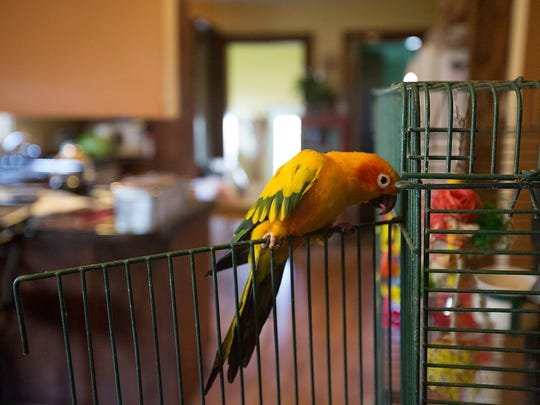 Lorrie Wagner's bird, Squeakers, sits on his cage in Antigo, Friday, May 6, 2016.