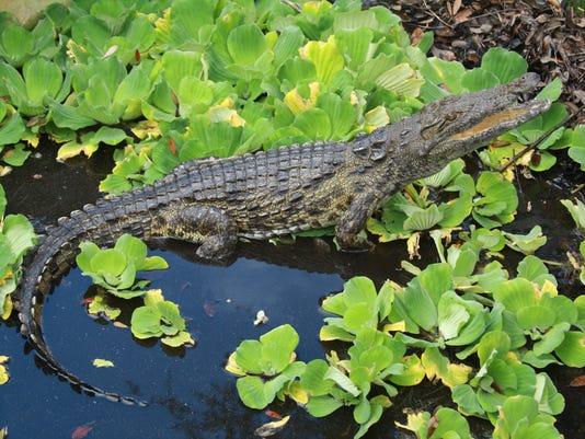 635993308214858720-Nile-Crocs-in-the-Eve-Reis.jpg