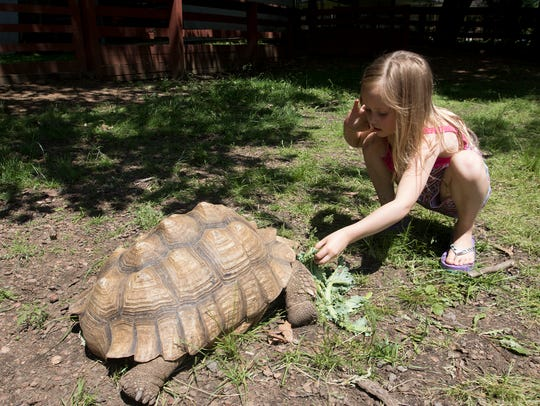 A young girl pets a tortoise at the Wisconsin Rapids Municipal Zoo on May 30, 2016.