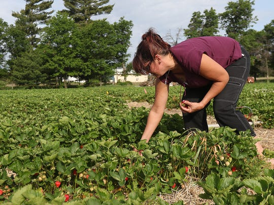 Brandi Weigel of Wisconsin Rapids picks strawberries on the opening day of the strawberry season at Altenburg's Country Gardens in Wisconsin Rapids, Thursday, June 9, 2016.