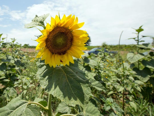 Sunflowers brighten a food plot in New Madrid County