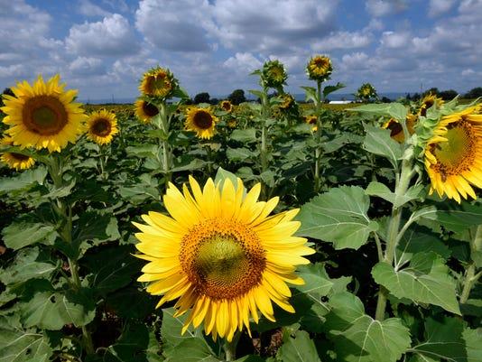 1-cpo-mwd-082916-sunflowers