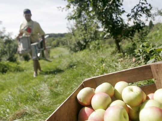 A bushel of Zestar apples awaits departure at Wilson's Orchard south of Solon on Monday, August 15, 2011.