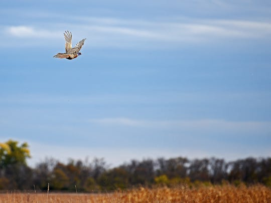 A pheasant flies away safely during the South Dakota pheasant hunting opener Saturday, Oct. 15, 2016, near Brookings, S.D.