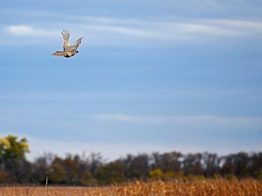 A pheasant flies away safely during the South Dakota