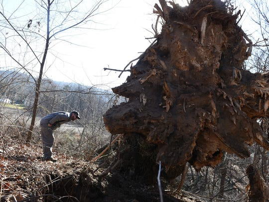 David Poe, a manger at Cumberland Valley Tree Service, takes a close look at a 110-foot black oak, which was listed as the biggest in Pennsylvania The tree fell in a field about 100 yards off Orchard Drive in Mont Alto.