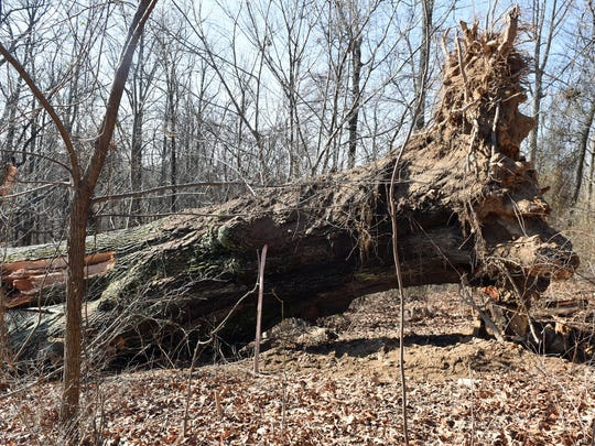 A 110-ft. black oak, which was listed as the biggest in Pennsylvania, fell in a field about 100 yards off Orchard Drive in Mont Alto.