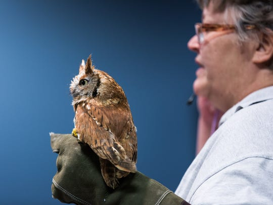 An eastern screech owl sits on the gloved hand of Wendy