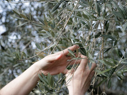 Lucia Iannotta, head of an olive farm, checks an olive