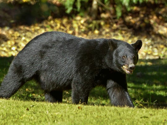 A Mississippi man has been convicted for his role in the killing of a Louisiana black bear.