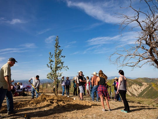 The replacement tree is planted Saturday in Ventura
