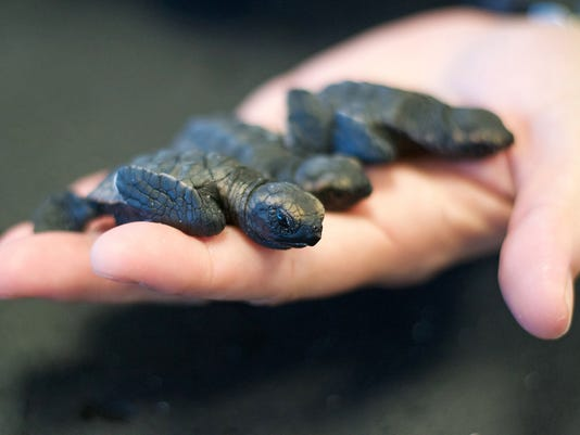 636295962163360288-These-Hawksbill-sea-turtles-hatched-in-January-and-can-be-visited-at-the-Loggerhead-Marinelife-Center-in-Juno-Beach-Florida-credit-Loggerhead-Marinelife-Center.jpg