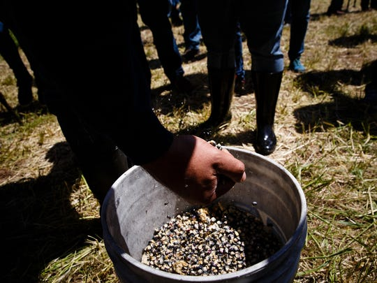 People grab handfuls of Sacred Ponca Corn to plant on Art Tanderup's land where the Keystone XL pipeline would cross it on Sunday, May 21, 2017, in Neligh. The ancient corn variety was thought to be lost when the Ponca tribe was driven out of Nebraska, but some seeds were found and have been planted here for the past four years in an effort to block the pipeline and reestablish the variety.
