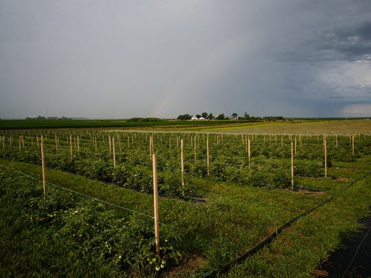 A rainbow forms over the tomato fields of organic farmers