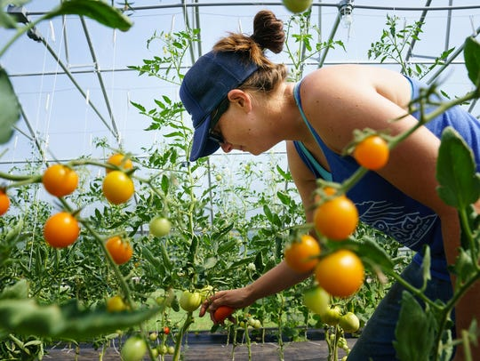 Jenny Quiner, 33, of Des Moines, picks tomatoes in