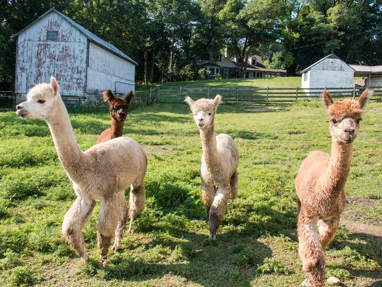 A group of male alpacas walk through the field after getting sprayed down with a hose.