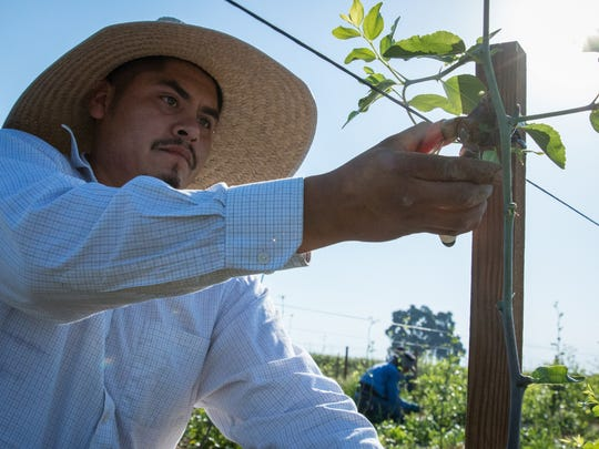 Nicolas Castañon(left), trims young jujube trees and Juan Salas fixes a leak in the drip irrigation line at L. E. Cooke Co. tree nursery in Visalia, Calif. Castañon said he has safe drinking water because his home has a filtration system.