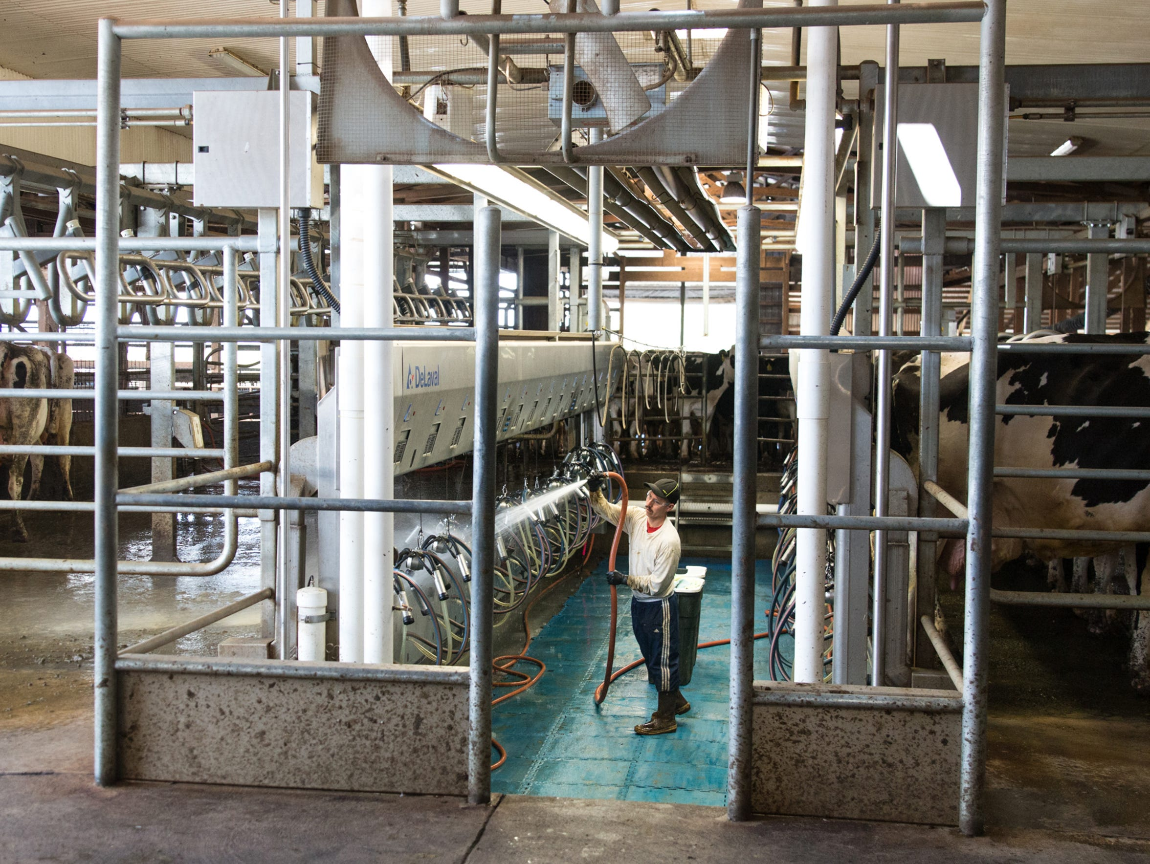 A worker hoses down the milking station after a batch