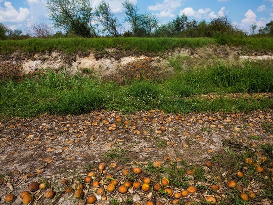 Rotten oranges cover the ground and embankments at one of Paul Meador's Valencia orange groves near Immokalee, Fla., on Sept. 28, 2017. Floodwaters caused the crop to float and accumulate in certain parts of the property.