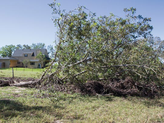 In this Oct. 23, 2017 photo, an uprooted pecan tree lies at the front of John and L'Nell Starkey's pecan orchard in Thomaston, Texas. The Starkey's orchard suffered damage from Hurricane Harvey and lost 4 trees in the storm.