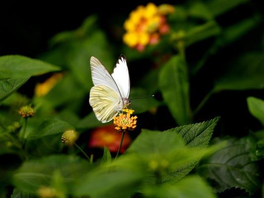 636591385556715333-180410-butterfly-garden-01a.JPG