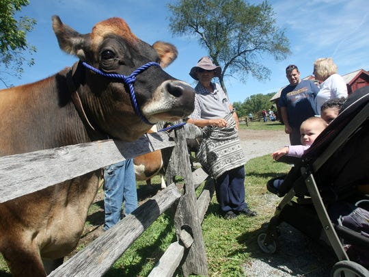 Visit the farm animals, including the cows, at Fosterfields
