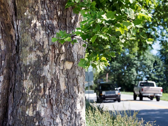 The Sycamore trees along the Susquehanna Trail are a familiar sight in southern York County.