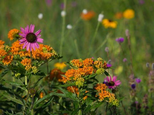 636663896175044200-FON-fdl-prairie-flowers-070418-dcr056.jpg.jpg
